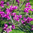 Purple bougainvillea — Foto Stock