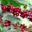 Ripening coffee beans — Stock Photo #18185951
