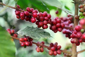 Ripening coffee beans — Stock Photo