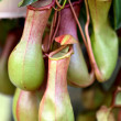 Nepenthes ,eat insect flower - Stock Photo