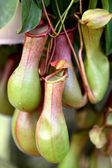 Nepenthes ,eat insect flower — Stock Photo