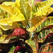 Royalty-Free Stock Photo: Garden plant - croton. Codiaeum variegatum.
