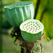 Lotus seeds - Photo