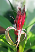 Spider lilies, or Crinum flower — Stock Photo