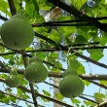 Green gourd - Lagenaria siceraria — Stock Photo
