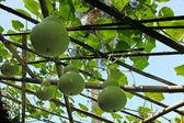 Calabaza verde - especie lagenaria siceraria — Foto de Stock