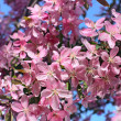 Stock Photo: Blossoming oriental cherry