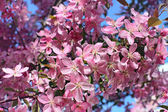 Blossoming oriental cherry — Stock Photo