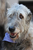 Irish Wolfhound portrait — Stock Photo