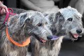 Two Irish wolfhounds — Stock Photo