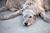 Irish Wolfhound resting — Stock Photo