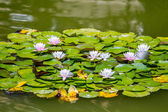 Lotus flowers — Foto Stock