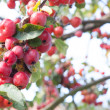 Red autumn berries - Stock Photo