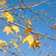 Tree branches with yellow autumn leaves - Stock Photo