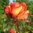 Orange Rose in Garden — Stock Photo #19058375
