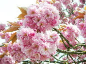 Pink Japanese cherry blossoms — Stock Photo