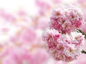 Japanese cherry blossoms — Stock Photo