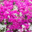 Stock Photo: Bougainvillea Vines