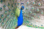 Peacock with fanned out tail — Stock Photo