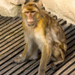 Stock Photo: Berber monkey