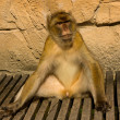 Stock Photo: Relaxed berber monkey