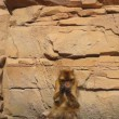 Stock Video: Berber monkey