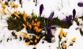Crocus in the melting snow — Stock Photo