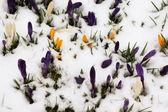 Crocus in the snow — Stock Photo