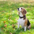 Beagle in green grass — Stock Photo