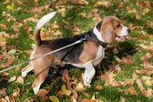 Beagle in the autumn lawn — Photo