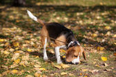 Beagle in the autumn lawn — Stock Photo