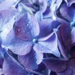 Stock Photo: Beautiful violet hydrangea, close-up.