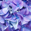 Beautiful violet hydrangea, close-up. — Stock Photo