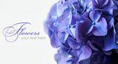 Beautiful violet hydrangea, close-up. — Stock Photo