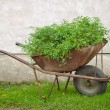 Bio wheelbarrow - Stock fotografie