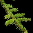 Stock Photo: Fir tree barnch