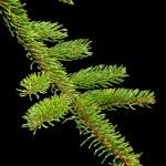 Fir tree barnch — Stock Photo