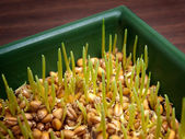 Wheat sprouts — Stock Photo