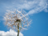 Dandelion on the wind — Stock Photo