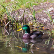 Duck swimming in the pond - Foto de Stock