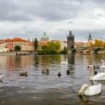 Swans near Charles Bridge in Prague — Stock Photo