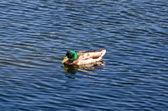 Eend zwemmen in de vijver — Stockfoto