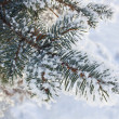 Spruce branches covered with snow, Branch of fir tree in snow, background — Foto de Stock