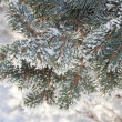 Spruce branches covered with snow, Branch of fir tree in snow, background — Foto Stock