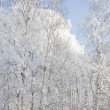 Trees covered with rime, a bright sunny day in a park — Stock Photo