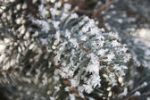 Spruce branches covered with snow, Branch of fir tree in snow, background — Stock Photo