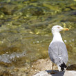 Seagull in the Red Island (Croatia) - Stock Photo