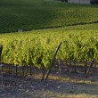 Tuscany vineyards — Stock Photo