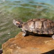 River turtle — Stock Photo