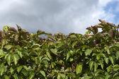 Wilde druiven, achtergrond — Stockfoto